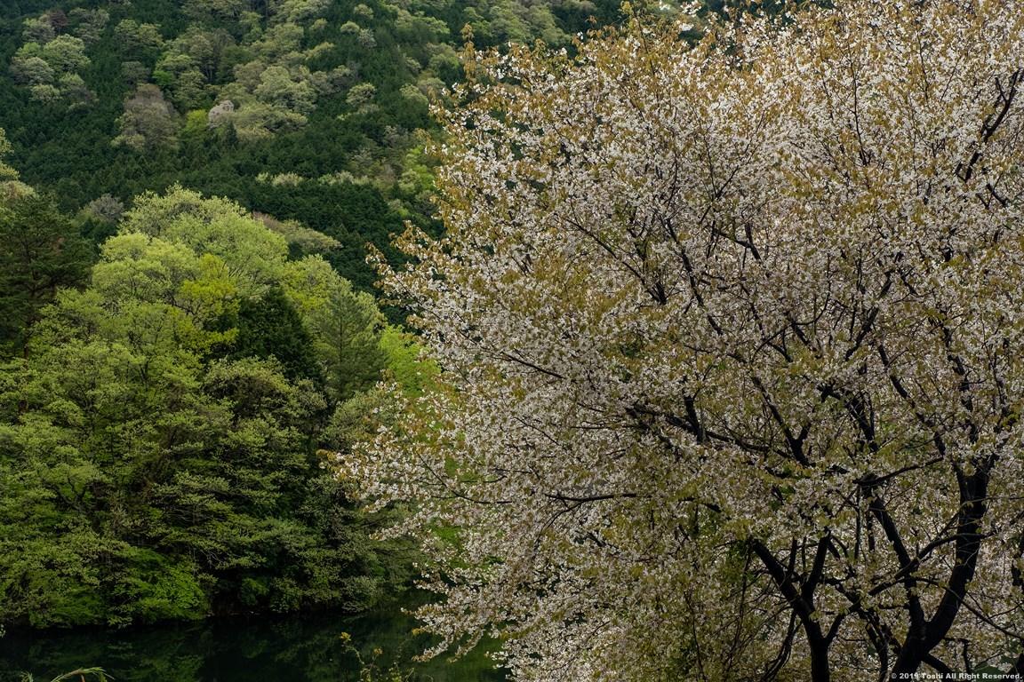 名残の桜 室生湖 3_c0350572_16274029.jpg