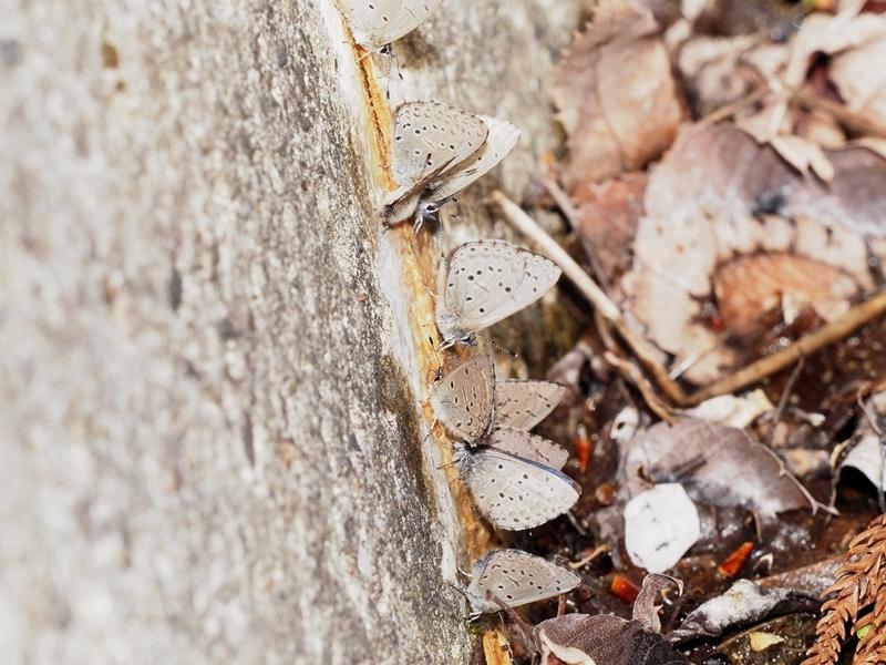 春の蝶を探しに スギタニルリシジミ Byヒナ_c0343075_20482152.jpg