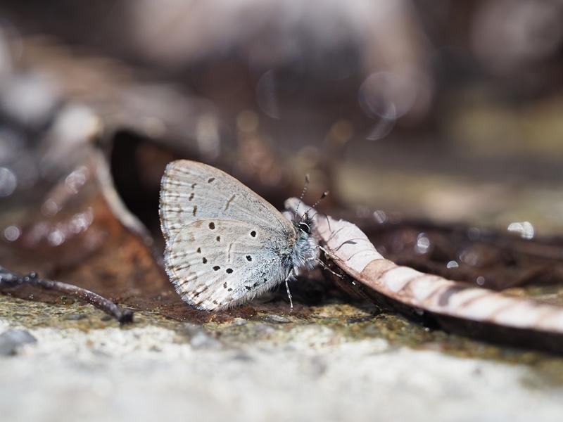 春の蝶を探しに スギタニルリシジミ Byヒナ_c0343075_20483611.jpg
