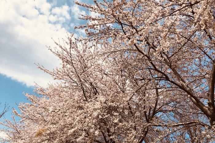 桜_a0152283_23251287.jpeg