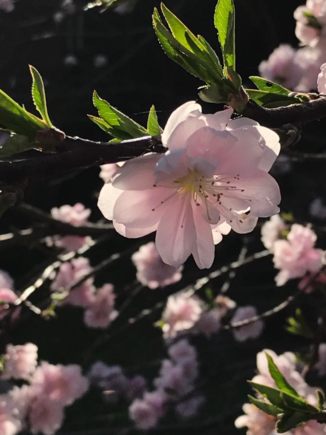 三朝町神倉の源平桃・冠岩・小鹿渓_e0115904_20513855.jpg