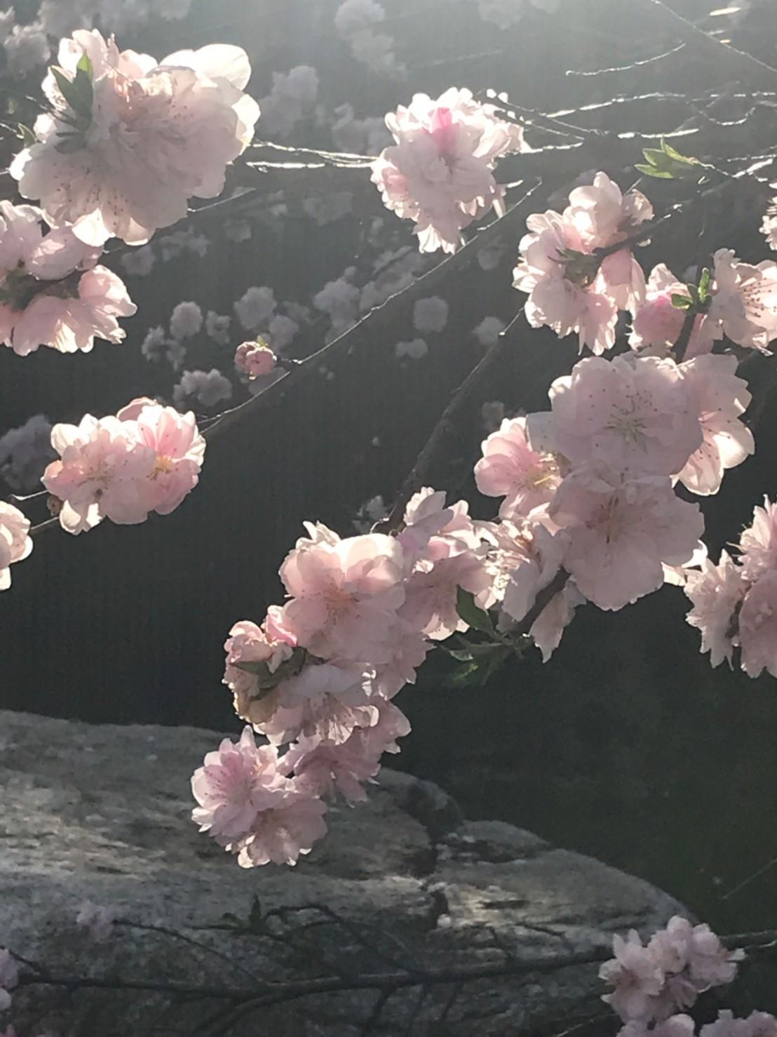 三朝町神倉の源平桃・冠岩・小鹿渓_e0115904_20514510.jpg