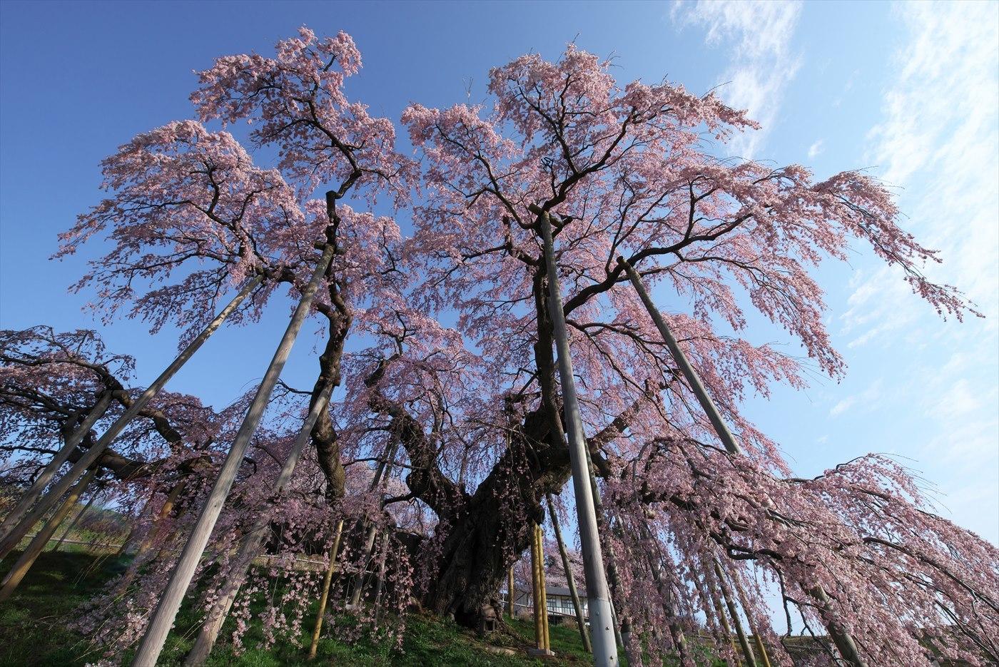三春滝桜_f0018464_06092080.jpg