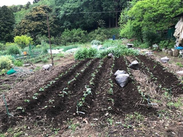 雨の合間に薩摩芋とモロヘイヤの苗植え付け5・1_c0014967_06063005.jpg