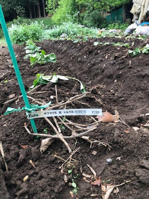 雨の合間に薩摩芋とモロヘイヤの苗植え付け5・1_c0014967_06071950.jpg