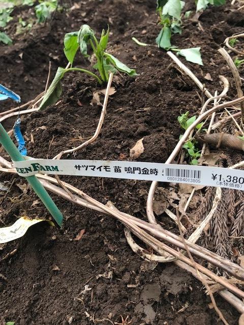 雨の合間に薩摩芋とモロヘイヤの苗植え付け5・1_c0014967_06074790.jpg