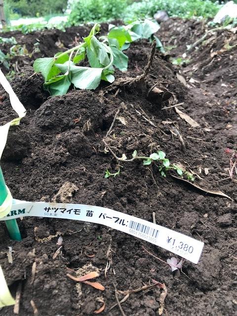雨の合間に薩摩芋とモロヘイヤの苗植え付け5・1_c0014967_06081572.jpg
