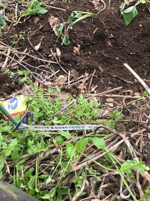雨の合間に薩摩芋とモロヘイヤの苗植え付け5・1_c0014967_06083109.jpg