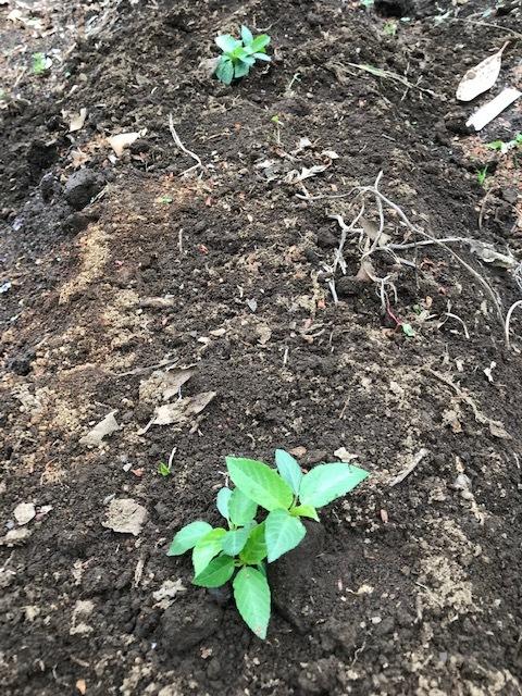 雨の合間に薩摩芋とモロヘイヤの苗植え付け5・1_c0014967_06092374.jpg