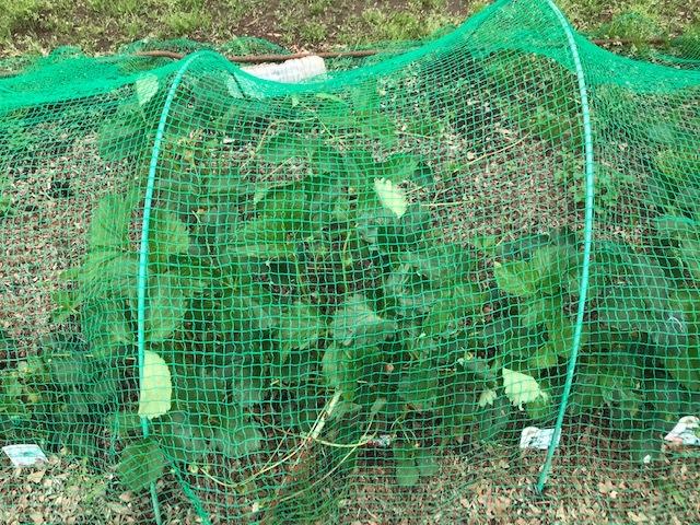 雨の合間に薩摩芋とモロヘイヤの苗植え付け5・1_c0014967_06104258.jpg