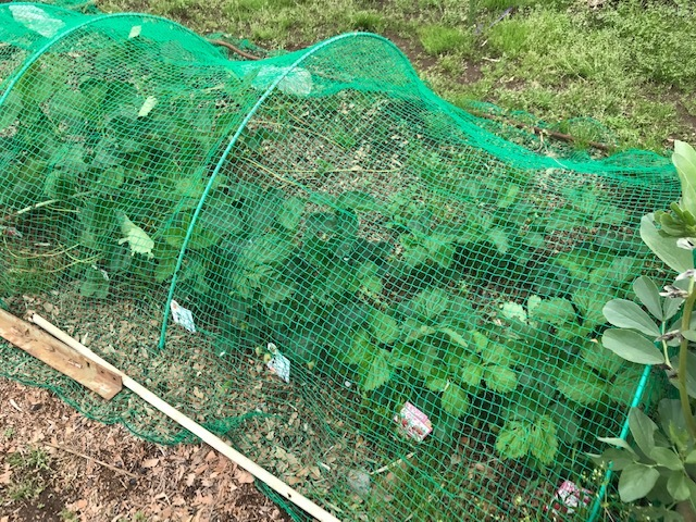 雨の合間に薩摩芋とモロヘイヤの苗植え付け5・1_c0014967_06105856.jpg