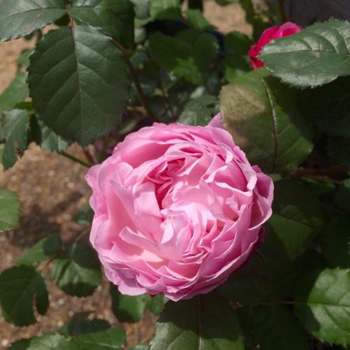 開花 Blooming〜ジュリアーニの見たバラは_e0103327_14244044.jpg