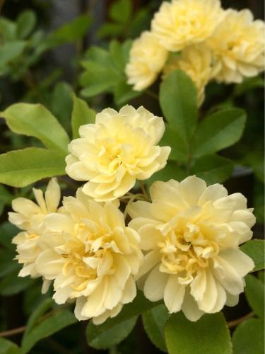 開花 Blooming〜ジュリアーニの見たバラは_e0103327_14244319.jpg