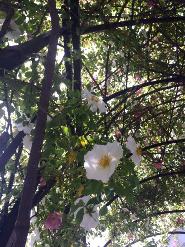 開花 Blooming〜ジュリアーニの見たバラは_e0103327_14313845.jpg