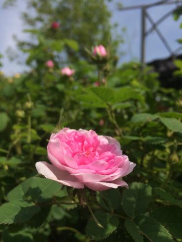 開花 Blooming〜ジュリアーニの見たバラは_e0103327_14314030.jpg