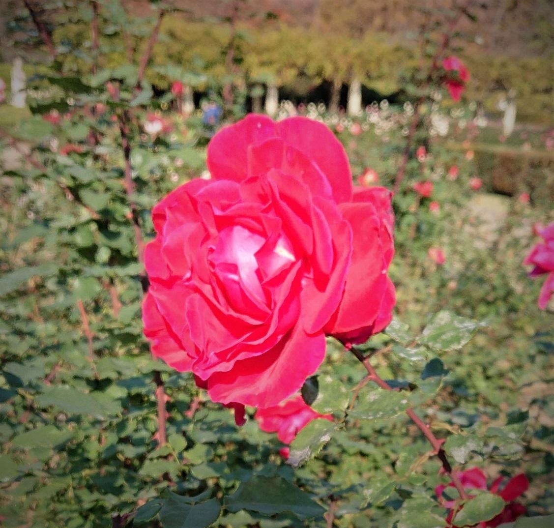 バラの名前は_c0157242_16170441.jpg