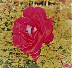 バラの名前は_c0157242_16212638.jpg