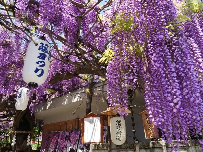 熊野街道信達宿 「藤まつり」   2019-05-05 00:00   _b0093754_21512900.jpg