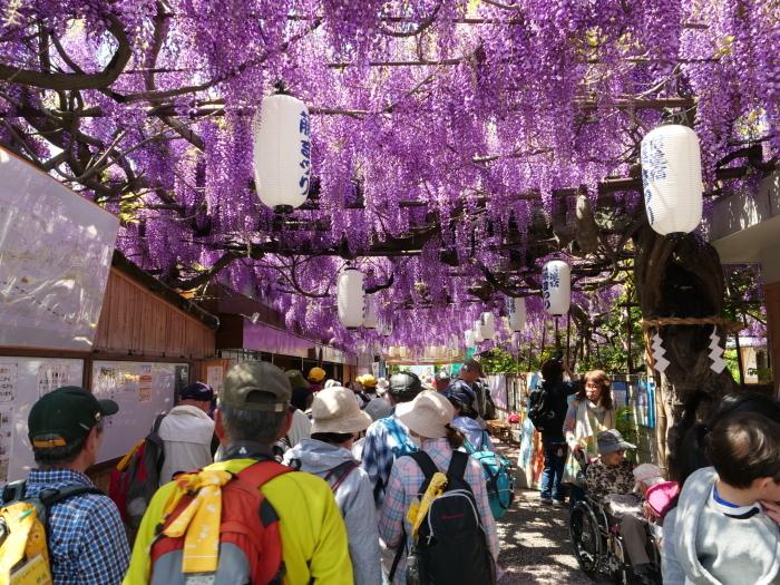 熊野街道信達宿 「藤まつり」   2019-05-05 00:00   _b0093754_21520090.jpg