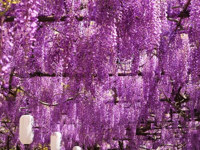 熊野街道信達宿 「藤まつり」   2019-05-05 00:00   _b0093754_21522791.jpg