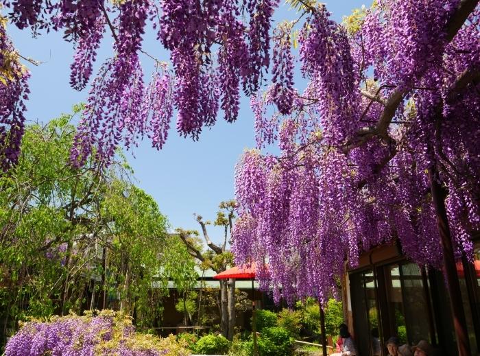 熊野街道信達宿 「藤まつり」   2019-05-05 00:00   _b0093754_21535123.jpg