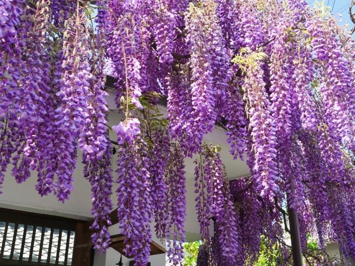 熊野街道信達宿 「藤まつり」   2019-05-05 00:00   _b0093754_21543383.jpg