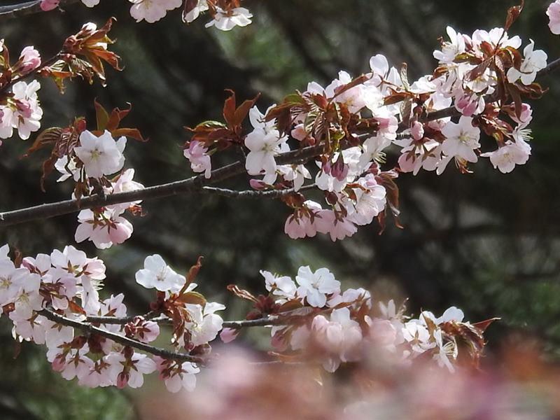 八剣山麓の桜_d0391670_22181811.jpg