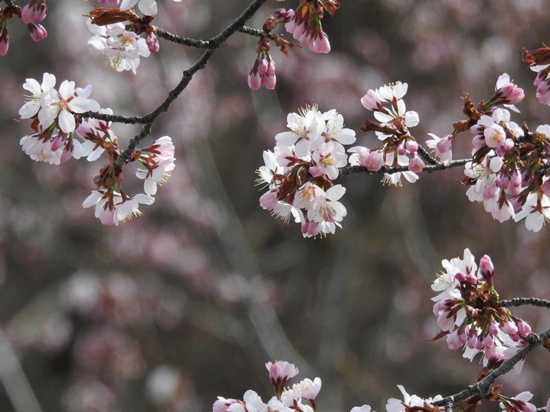 八剣山麓の桜_d0391670_22200912.jpg