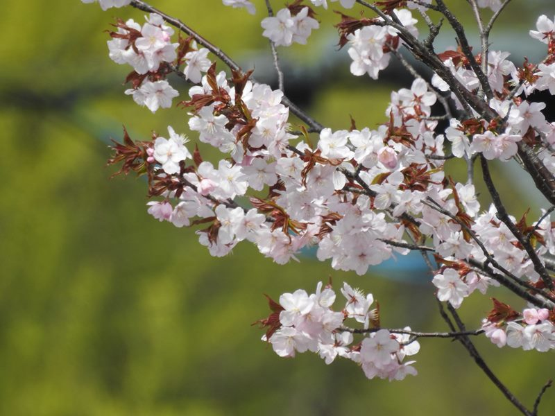 八剣山麓の桜_d0391670_22204854.jpg