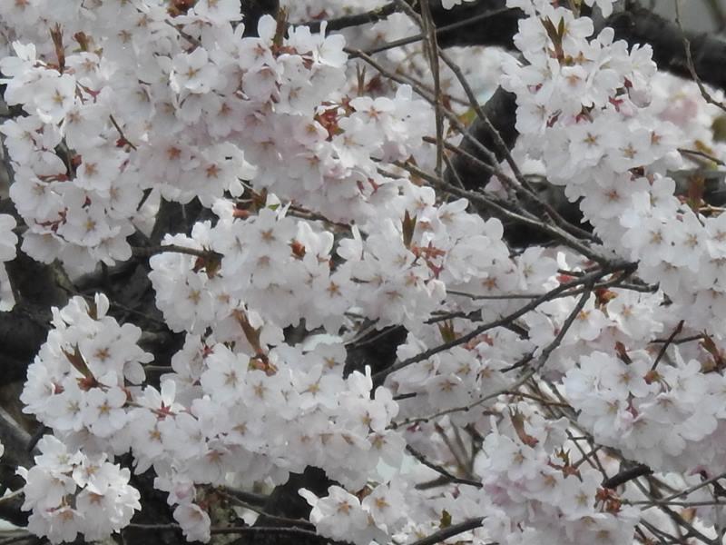 八剣山麓の桜_d0391670_22214558.jpg