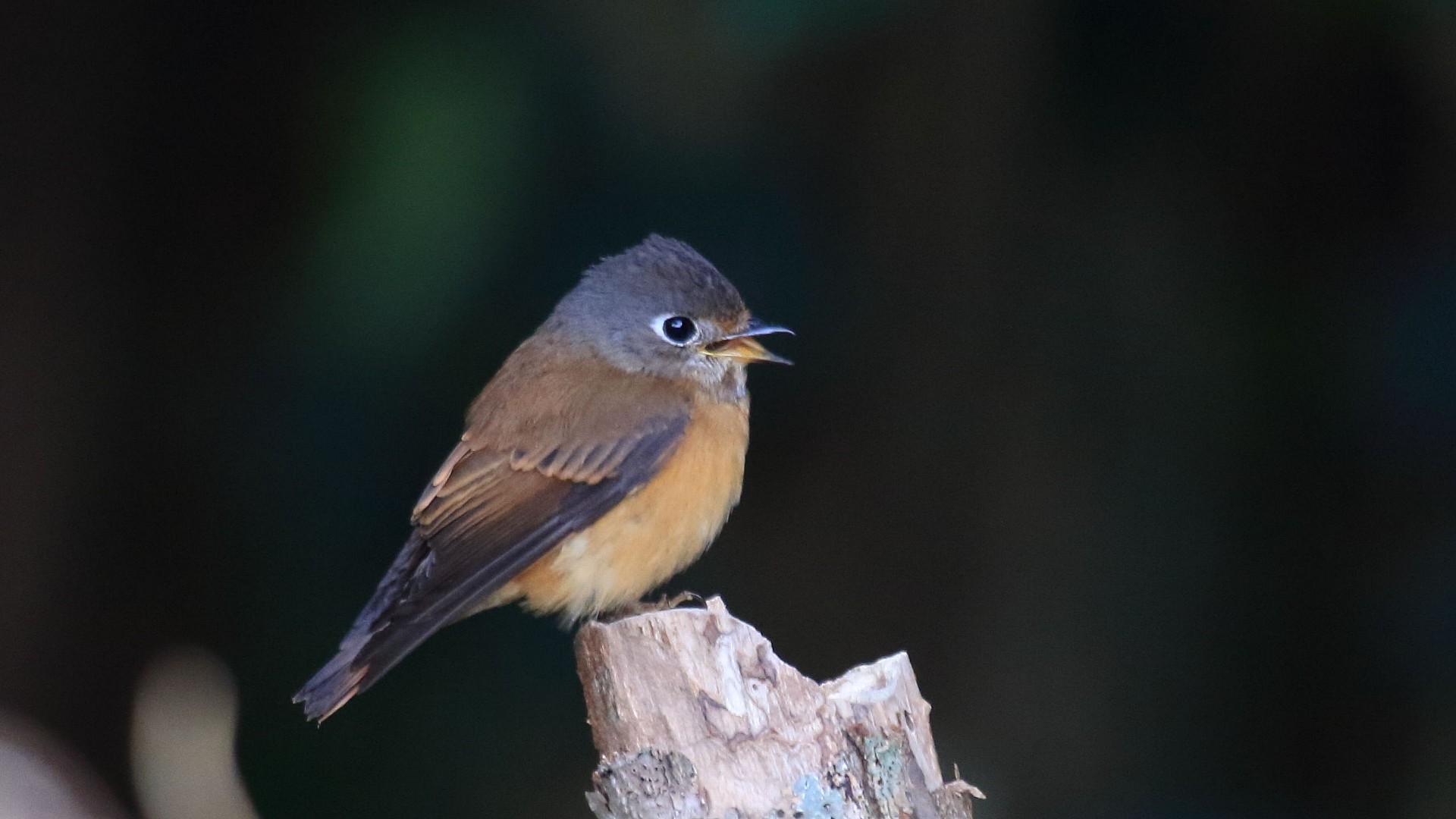 修行の島?南の離島の鳥その1:超珍鳥のミヤマヒタキ!_f0105570_22343868.jpg