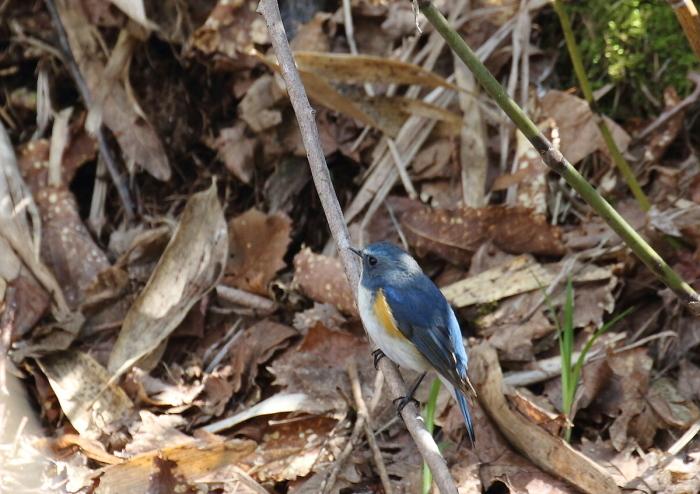 青い鳥・・小鳥♪_c0113597_13340607.jpg