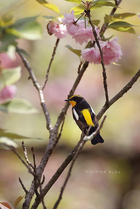 八重桜とキビタキ_d0053309_19372643.jpg