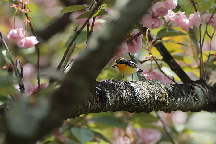 八重桜とキビタキ_d0053309_19374938.jpg