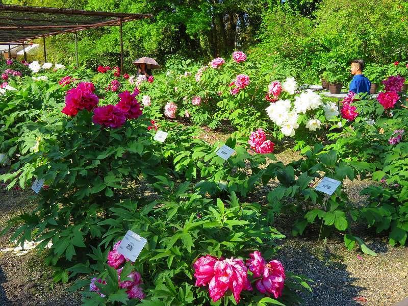 京都植物園「牡丹園」20190504_e0237645_23560256.jpg