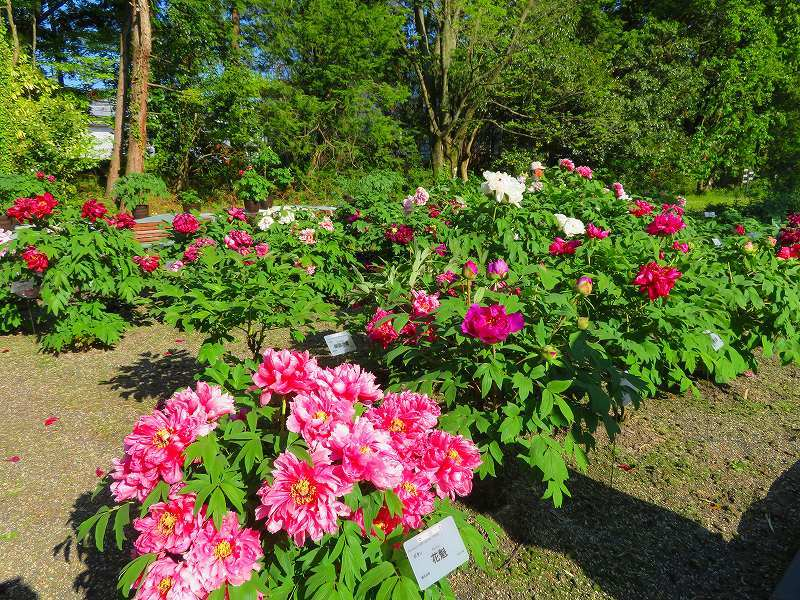 京都植物園「牡丹園」20190504_e0237645_23560286.jpg