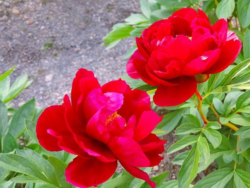 京都植物園「牡丹園」20190504_e0237645_23570475.jpg