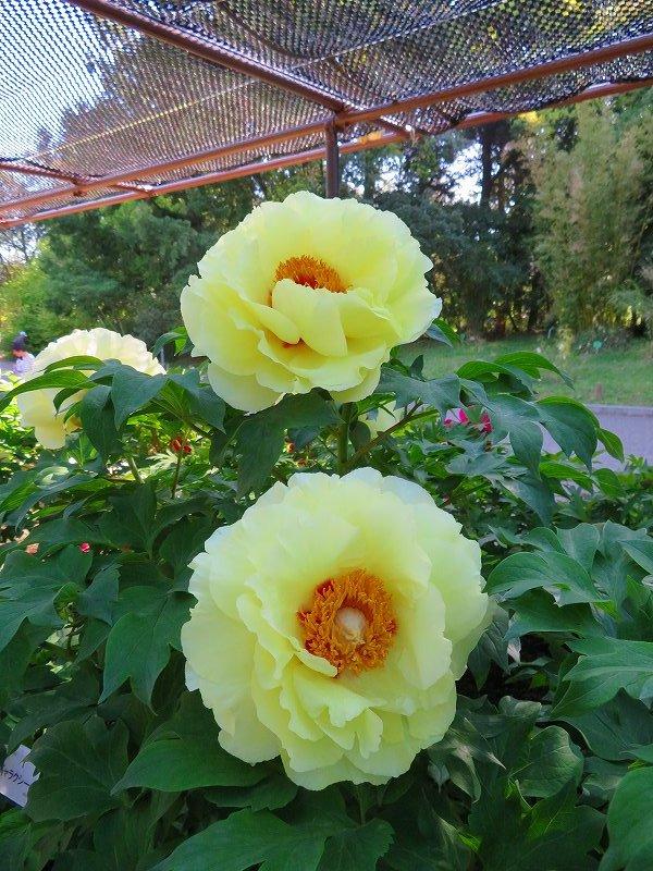 京都植物園「牡丹園」20190504_e0237645_23581213.jpg