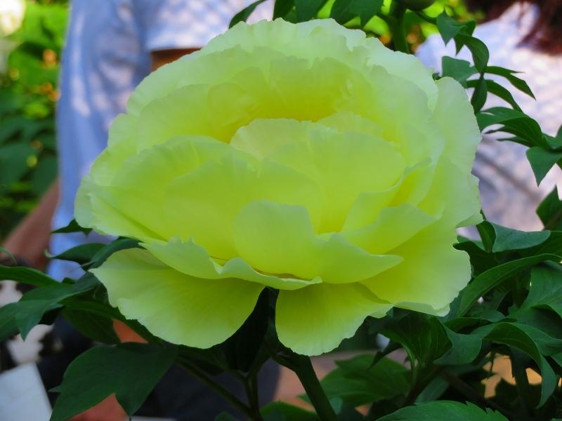 京都植物園「牡丹園」20190504_e0237645_23581230.jpg
