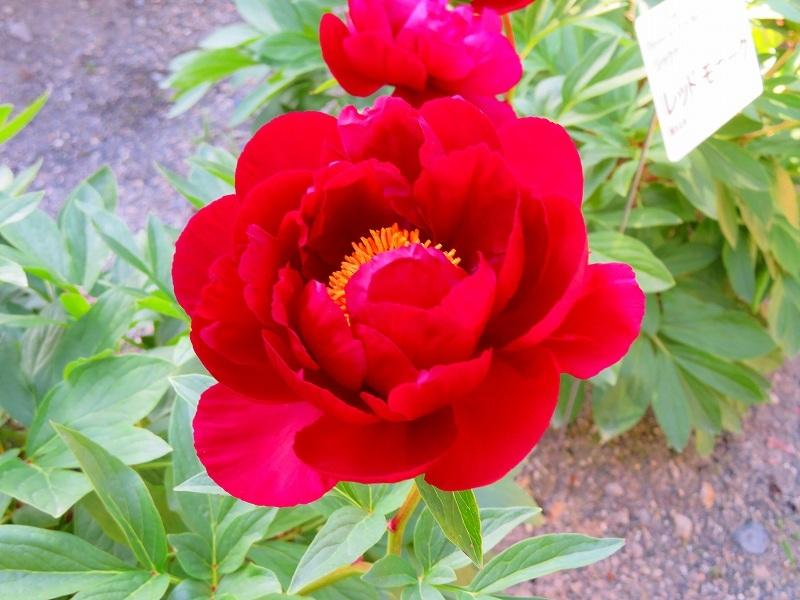 京都植物園「牡丹園」20190504_e0237645_23581259.jpg