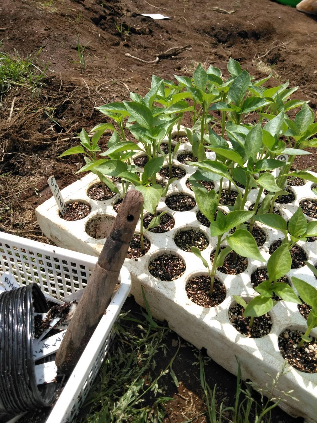 パプリカ ピーマンの鉢上げは圃場で・・・_c0222448_12434050.jpg