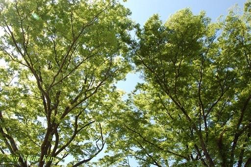 緑の賀茂川  2019年5月4日_a0164068_22584551.jpg