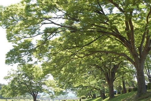 緑の賀茂川  2019年5月4日_a0164068_22593947.jpg