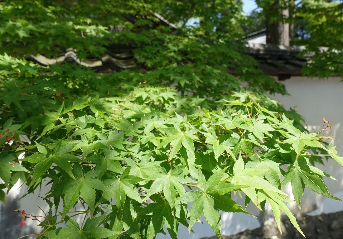 多田神社(兵庫・川西市)境内の「青もみじ」が見ごろ_d0136382_11563879.jpg