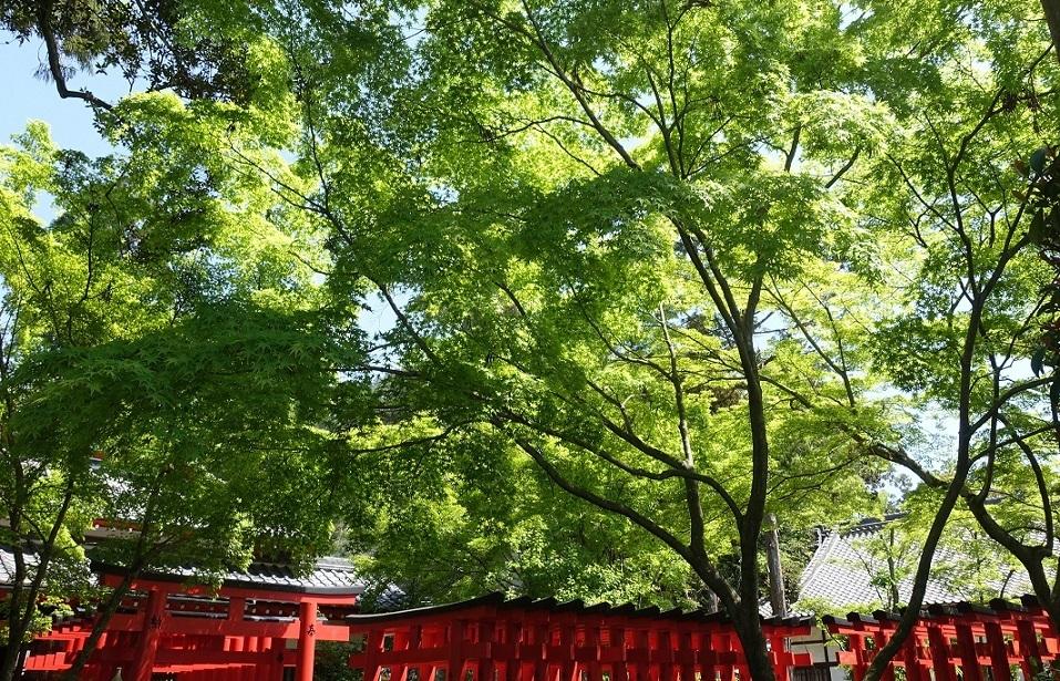 多田神社(兵庫・川西市)境内の「青もみじ」が見ごろ_d0136382_12053146.jpg