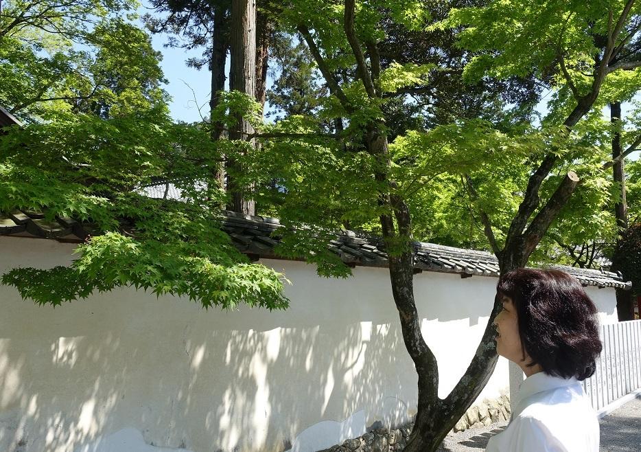 多田神社(兵庫・川西市)境内の「青もみじ」が見ごろ_d0136382_12053575.jpg