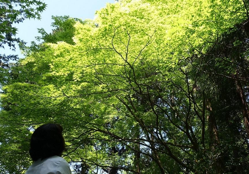 多田神社(兵庫・川西市)境内の「青もみじ」が見ごろ_d0136382_16145119.jpg