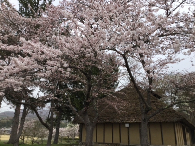 待ってました、猪苗代の桜!_a0096989_21241198.jpg
