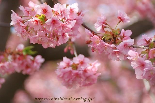 圧倒的桜。平成FINAL 古都の桜と富士の桜_f0374092_16315715.jpg