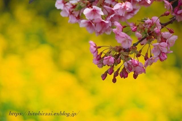 圧倒的桜。平成FINAL 古都の桜と富士の桜_f0374092_16322799.jpg